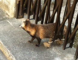 The tanuki/raccoon dog