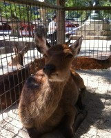 One of the many deers on Miyajima Island